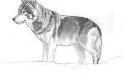 Study Shows Decline in Wolf Population